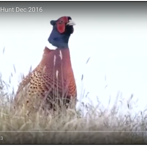 Idaho Pheasant Hunting in December at Lazy Bear Ranch